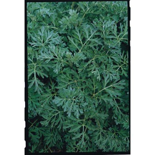 Herb - Wormwood - 25000 Seeds