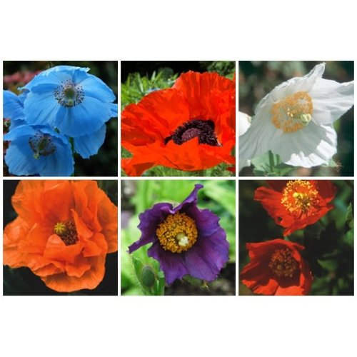 RP Seeds Perennial Poppy Seed Collection