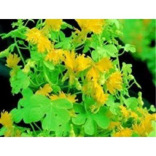 Flower - Tropaeolum Canariense - Canary Creeper - 5 Seeds