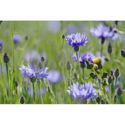Wild Flower - Cornflower - Centaurus Cyanus - 500 Seeds