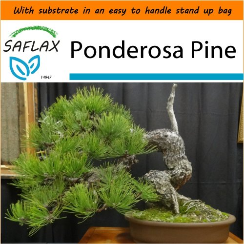 SAFLAX Garden in the Bag - Bonsai - Ponderosa Pine - Pinus - 20 seeds
