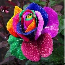 100Pcs Rainbow Rose Seed Colorful Rose
