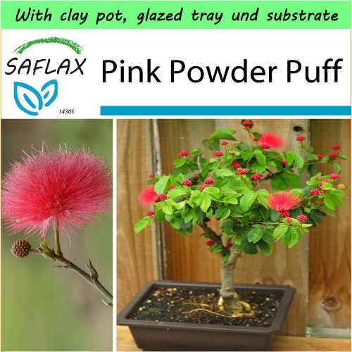 SAFLAX Garden to Go - Bonsai - Pink Powder Puff - Calliandra - 10 seeds