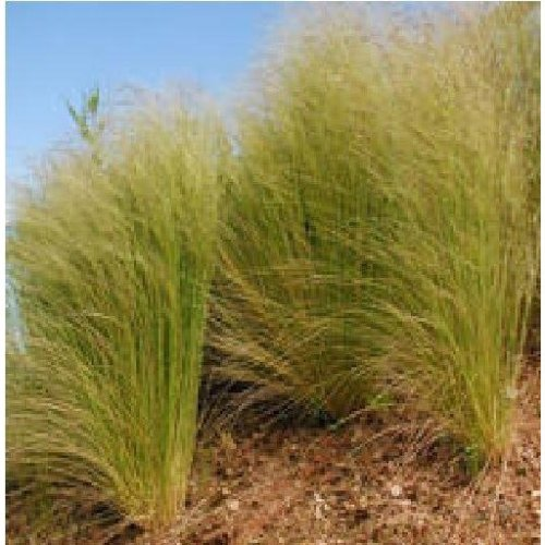 Grass - Stipa Elegantissima - 20 Seeds