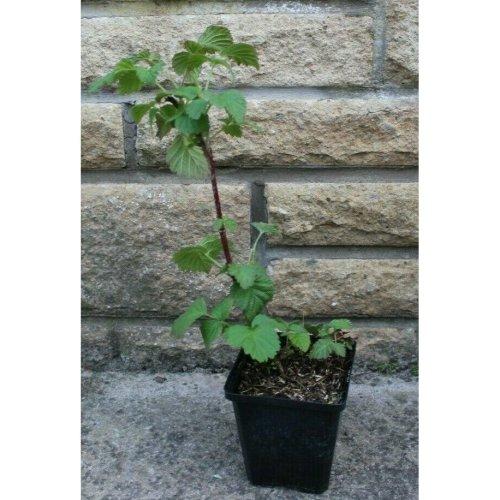 Tayberry Medana Plants grown in 9cm pots