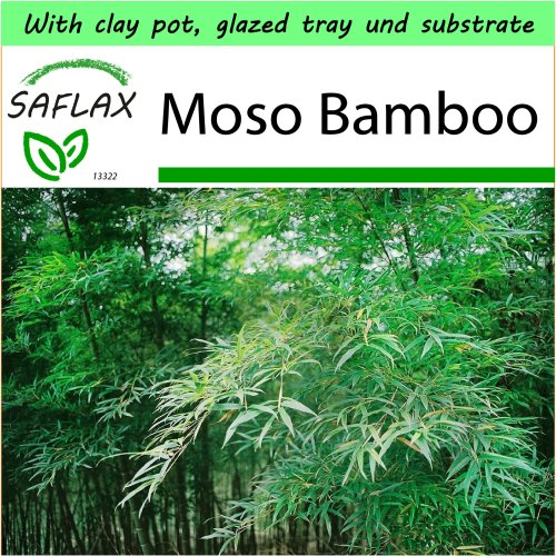 SAFLAX Garden to Go - Moso Bamboo - Phyllostachys pubescens - 20 seeds - With clay pot, glazed tray, substrate and fertilizer