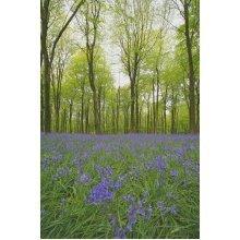 Wild Flower - English Bluebell - Hyacinthoides Non-Scripta - 100 Seeds