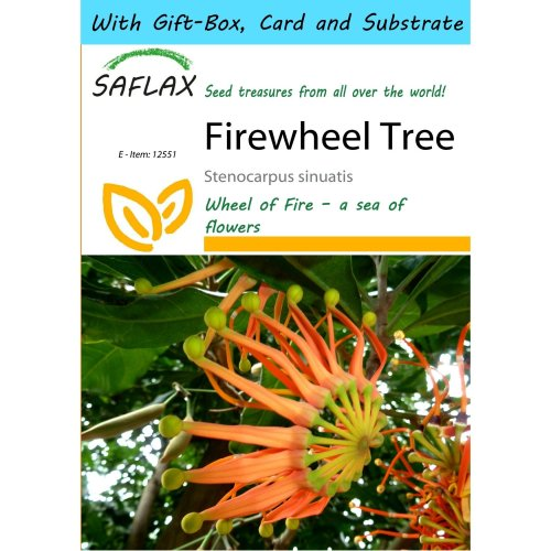 Saflax Gift Set - Firewheel Tree - Stenocarpus Sinuatis - 20 Seeds - with Gift Box, Card, Label and Potting Substrate