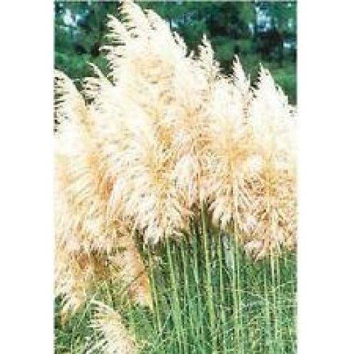 Grass - White Feather - Cortaderia Selloana - 500 Seeds