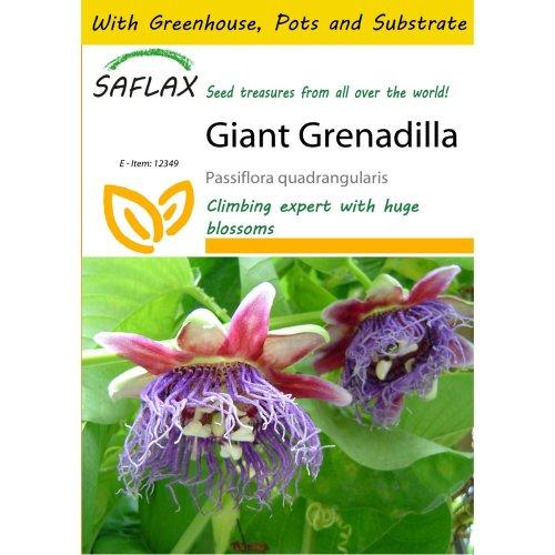Saflax Potting Set - Giant Grenadilla - Passiflora Quadrangularis - 12 Seeds - with Mini Greenhouse, Potting Substrate and 2 Pots