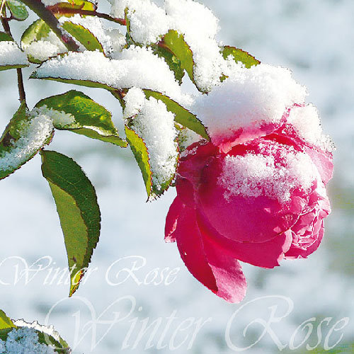 Ambiente Winter Rose Napkins